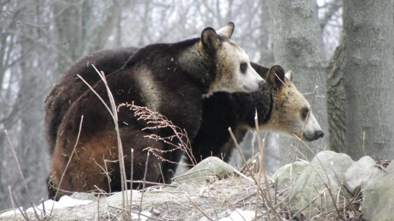 The pale face of the Hokkaido bear is a species marker. – Karen Talasco