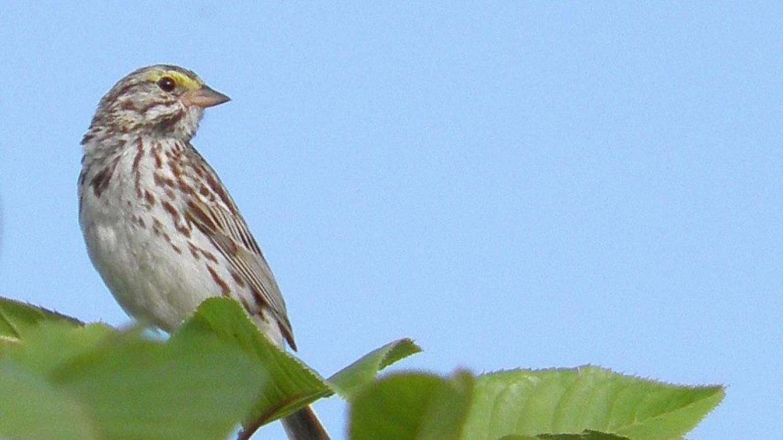 Savannah Sparrow - NJ Threatened Species – John Parke