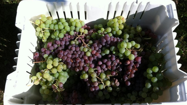 Grapes – Eric Schramm