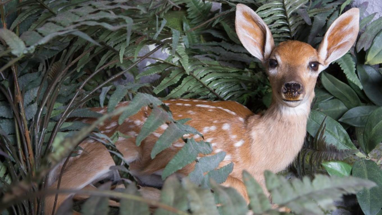 White-tailed Deer Fawn – Schisler Museum/McMunn Planetarium