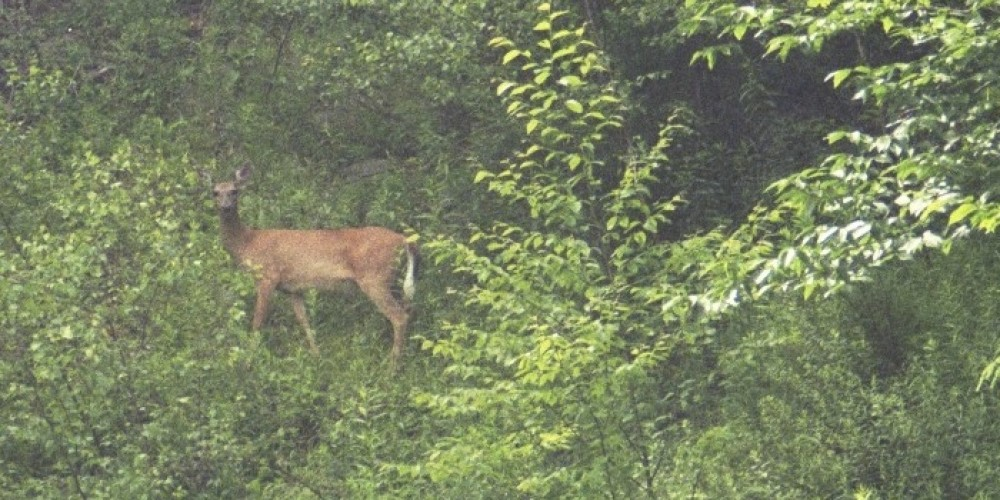 Doe in the Woods – Bill Kocher