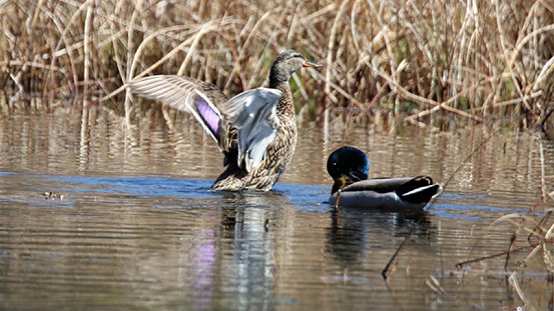 A mallard couple bask in the sun at Thunder Swamp. – Nancy J. Hopping