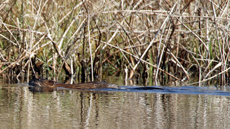 Beavers make their busy presence known at Thunder Swamp. – Nancy J. Hopping