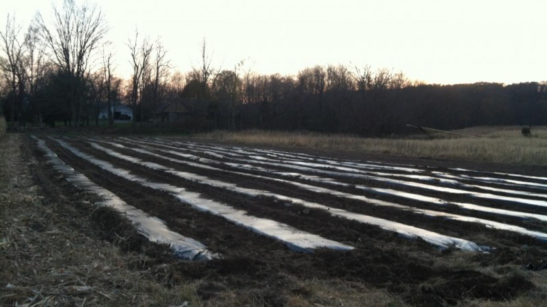Ready to plant Fall Garlic – Raj Sinha