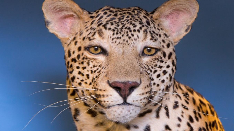 Leopard – Schisler Museum/McMunn Planetarium