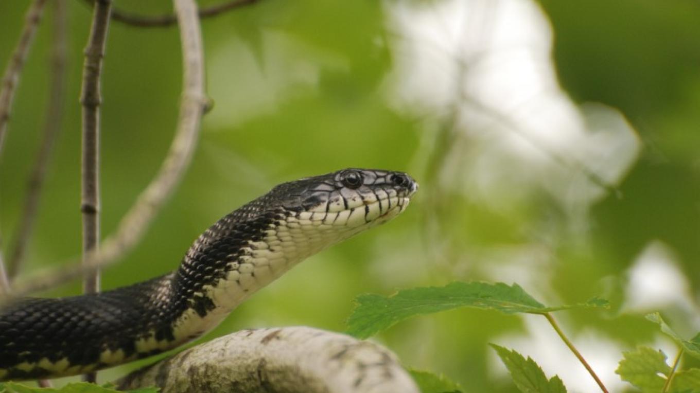 Black Rat Snake – PEEC Staff Photo