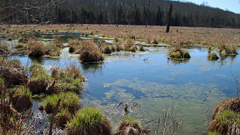 The wild beauty of Thunder Swamp. – Nancy J. Hopping