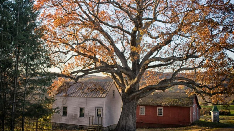 Three hundred year old white oak tree at the Van Kirk Homestead. – Nancy Madacsi