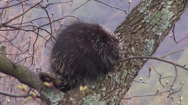 Porcupine at Mt Tammany – John Parke