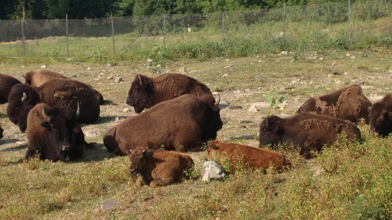 Space Farms has a mark on the national map of American buffalo herds. – Karen Talasco