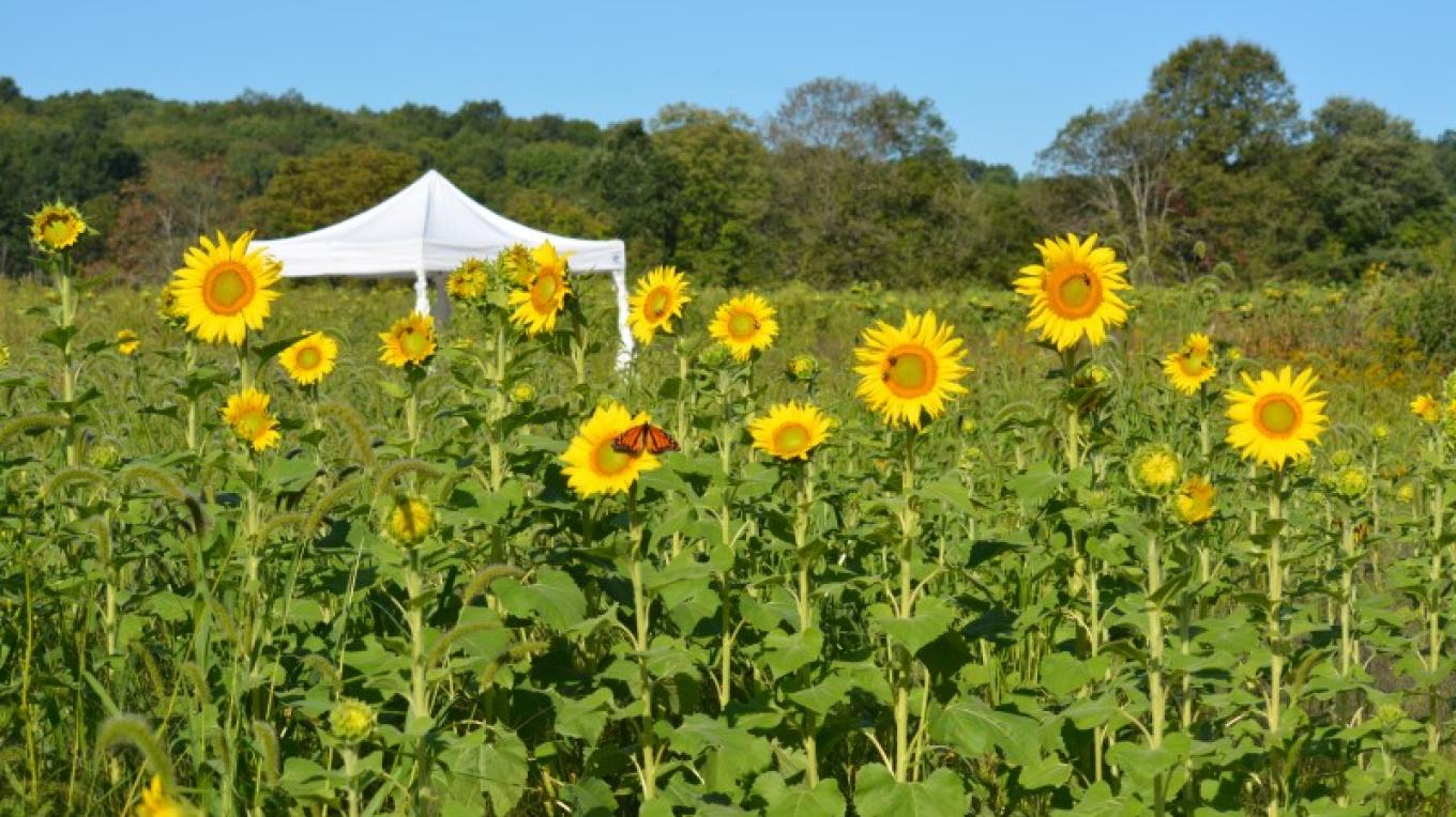 Home of the Sussex County Sunflower Maze – Raj Sinha