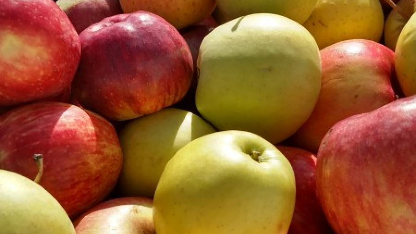 Fresh, juicy apples ready to be pressed into apple cider – Hardball Cider