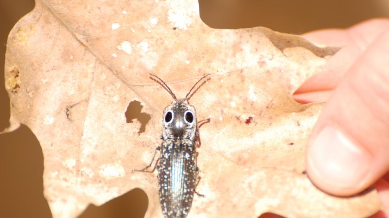 Click Beetle – PEEC Staff Photo