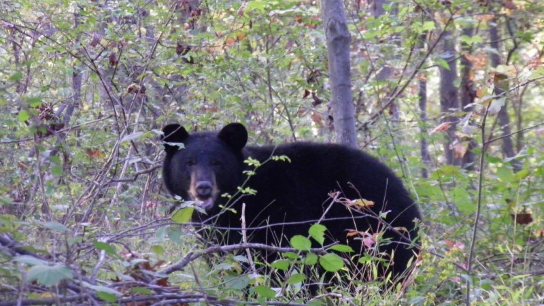 Black Bear at Bear Swamp WMA – John Parke