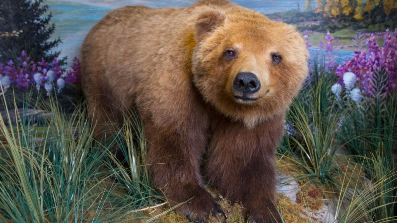 Grizzly Bear – Schisler Museum/McMunn Planetarium