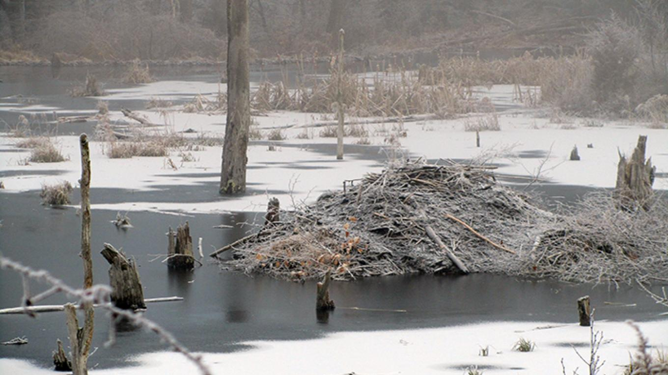 Beaver Dam in the wetlands outside of park headquarters. – National Park Service