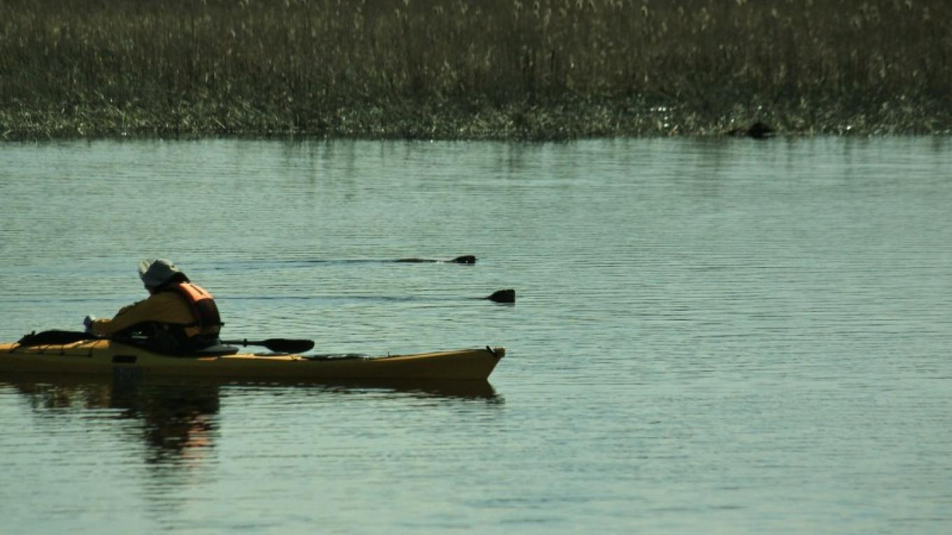 Beavers swimming beside kayaker at dusk. – Justin Schmidt