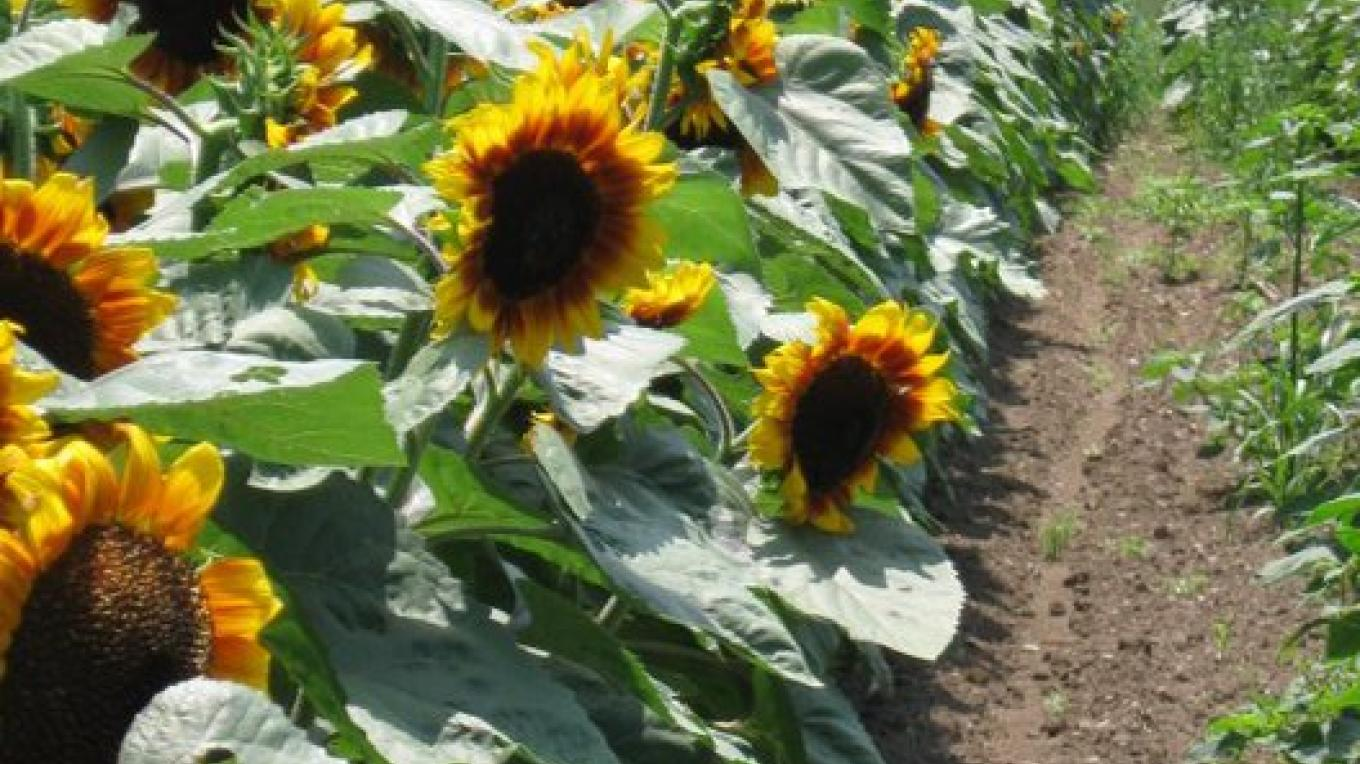 Summer Sunflowers – Jan Jorritsma