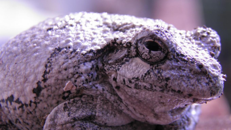 Northern Gray Tree Frog at the NJ Audubon Wattles Stewardship Center – John Parke