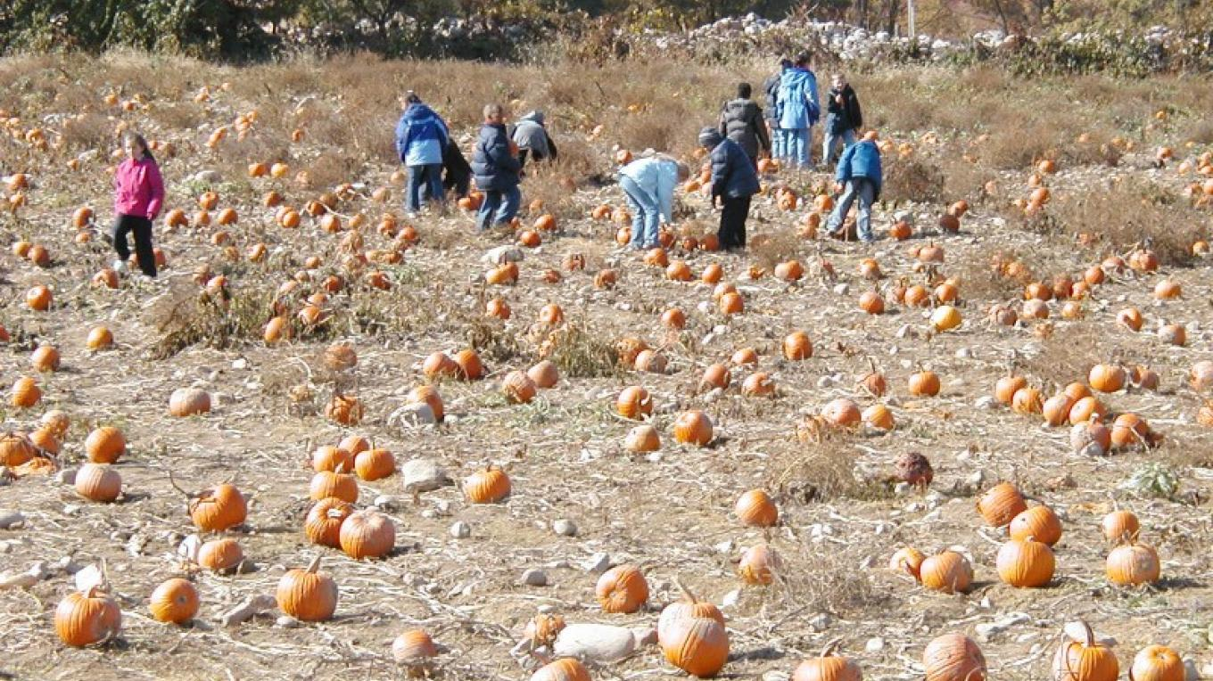 Pick your own pumpkins – Elvern Farms