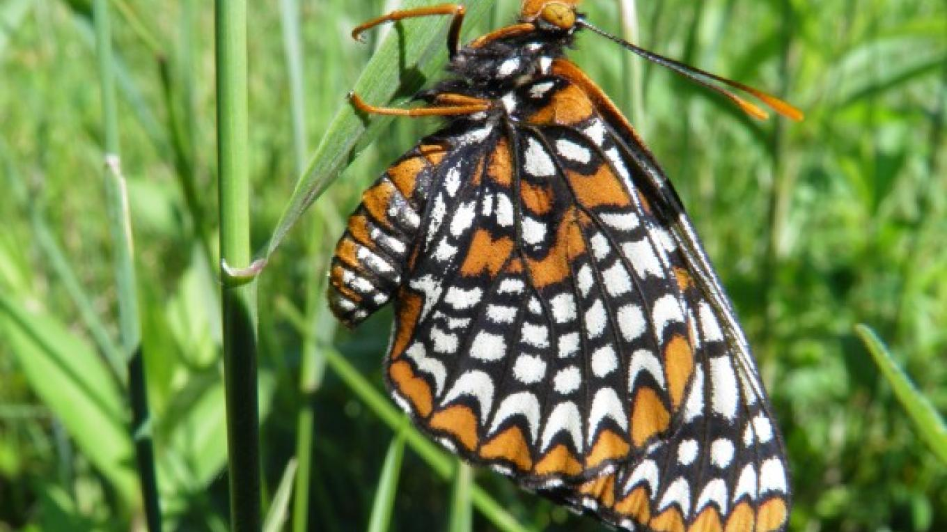 Baltimore Checkerspot Butterfly – John Parke