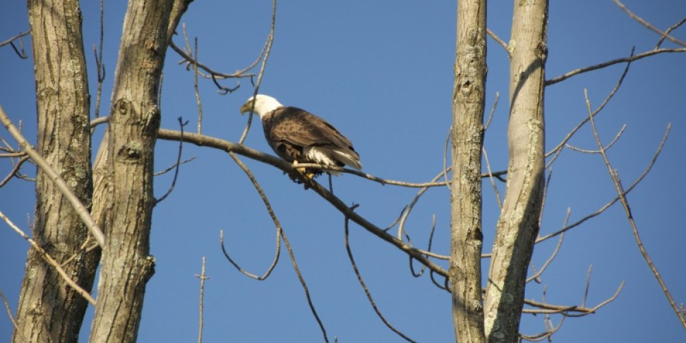 Bald Eagles sit right in a tree not too far from the Tour Boat launch location. – Wallenpaupack Scenic Boat tour