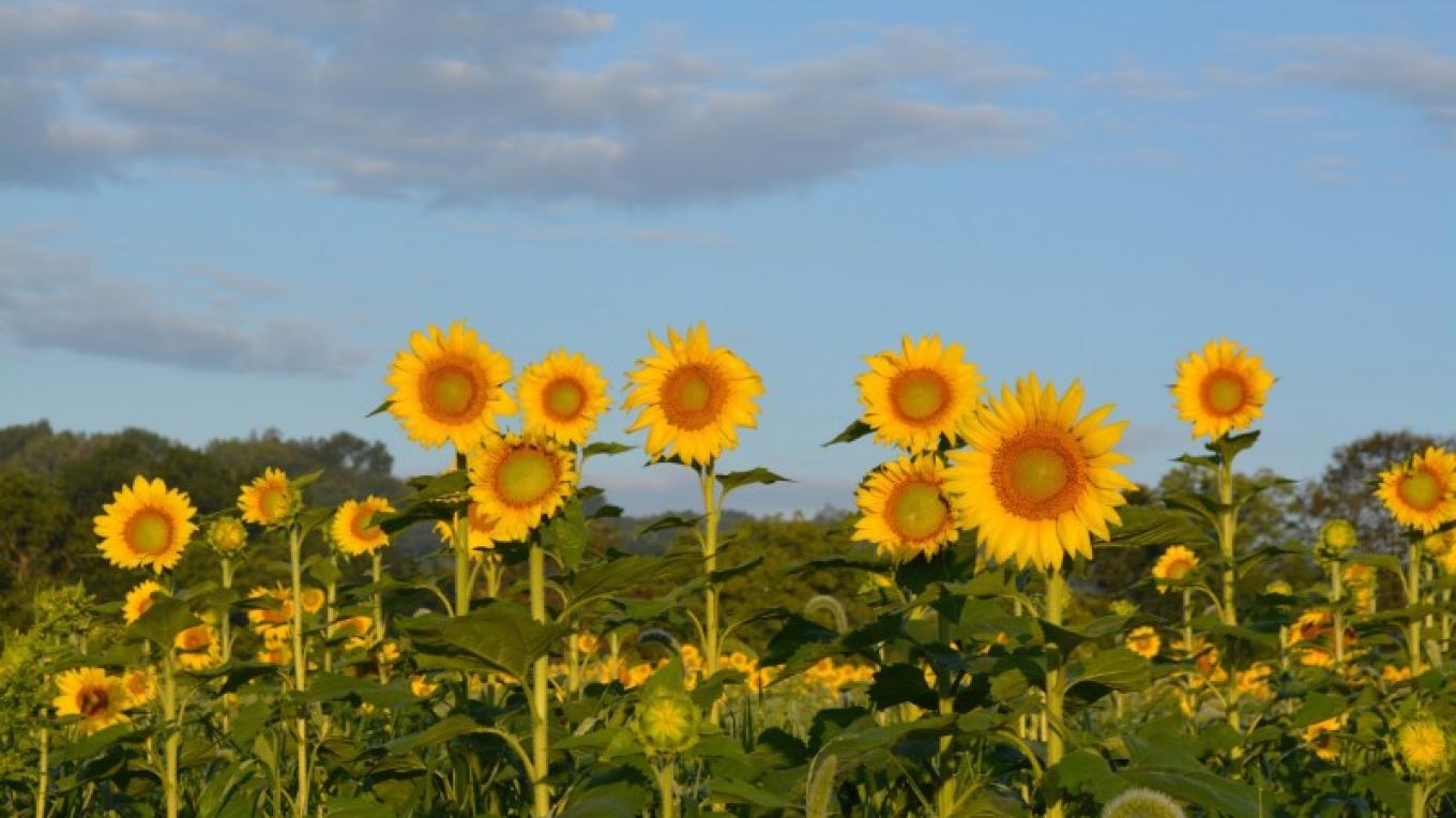 Sunflowers Blooms – Liz Sutula