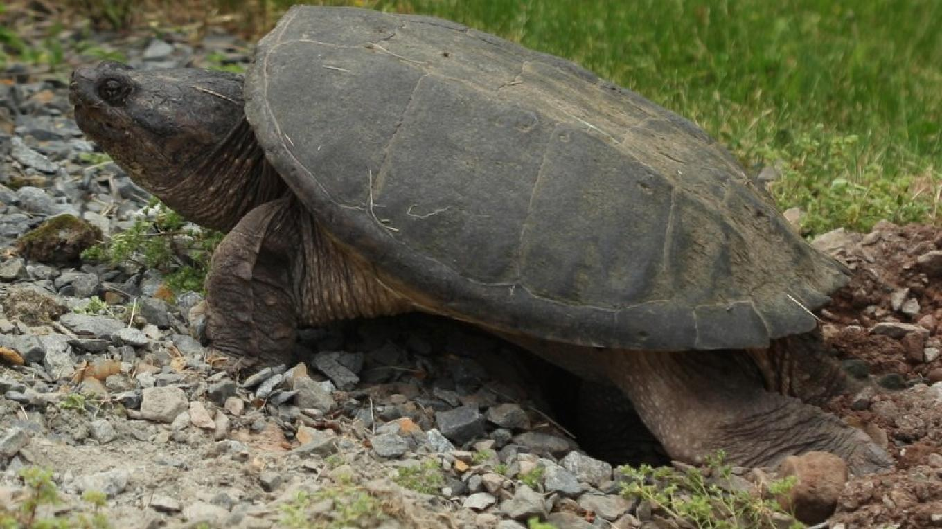 A snapping turtle burying her eggs at the Dorflinger-Suydam Wildlife Sanctuary. – Henry J. Loftus