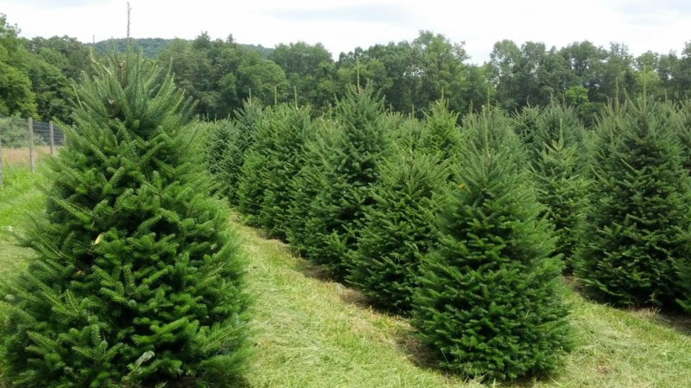Fraser fir sheared up and ready for fall sales – Tim Dunne