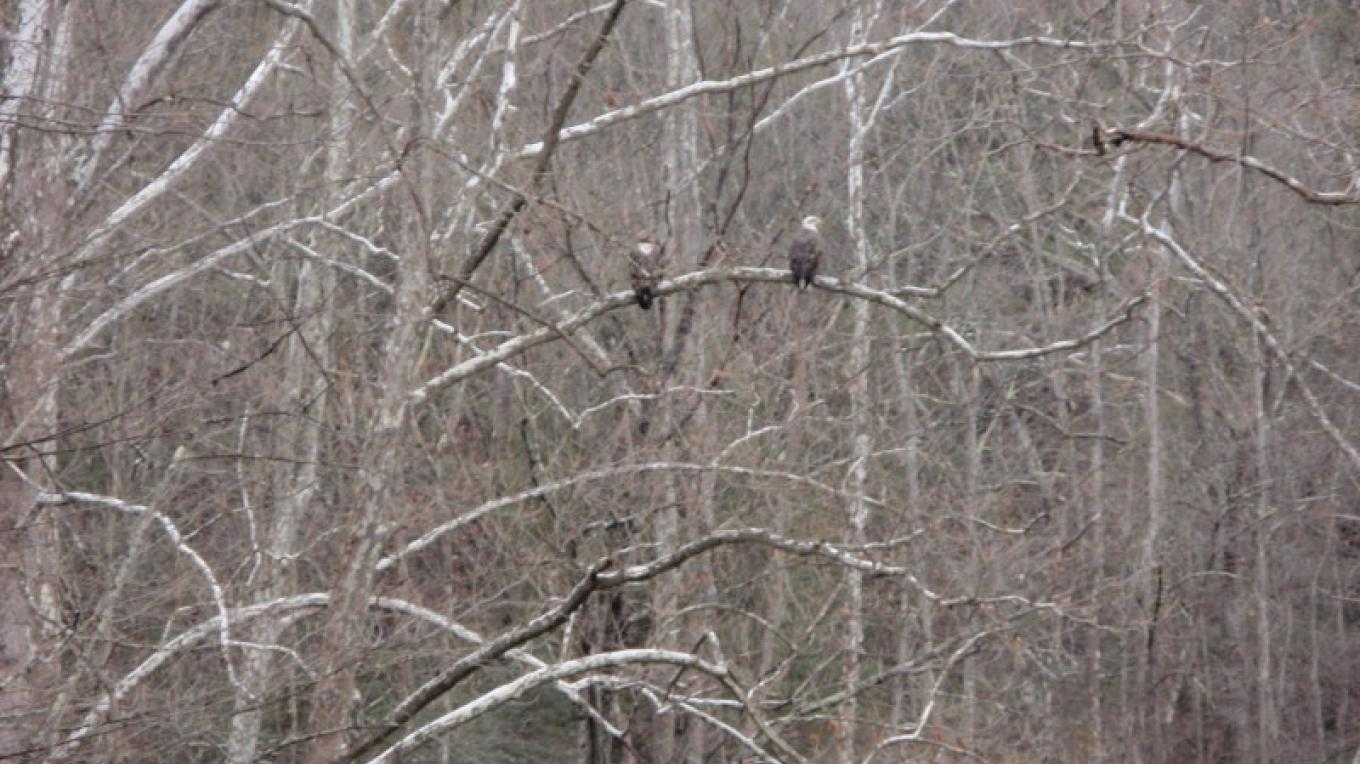 Eagle watching on the Mongaup River; a short drive to see a young bald eagle and its parent. – D. Davies