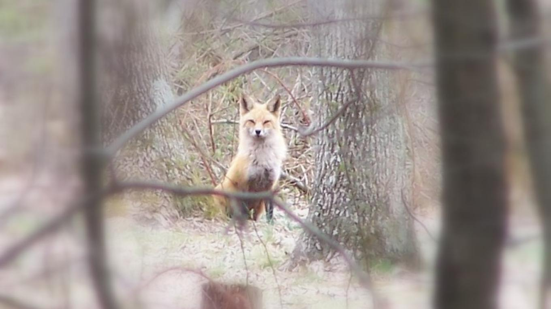 Red Fox – John Parke