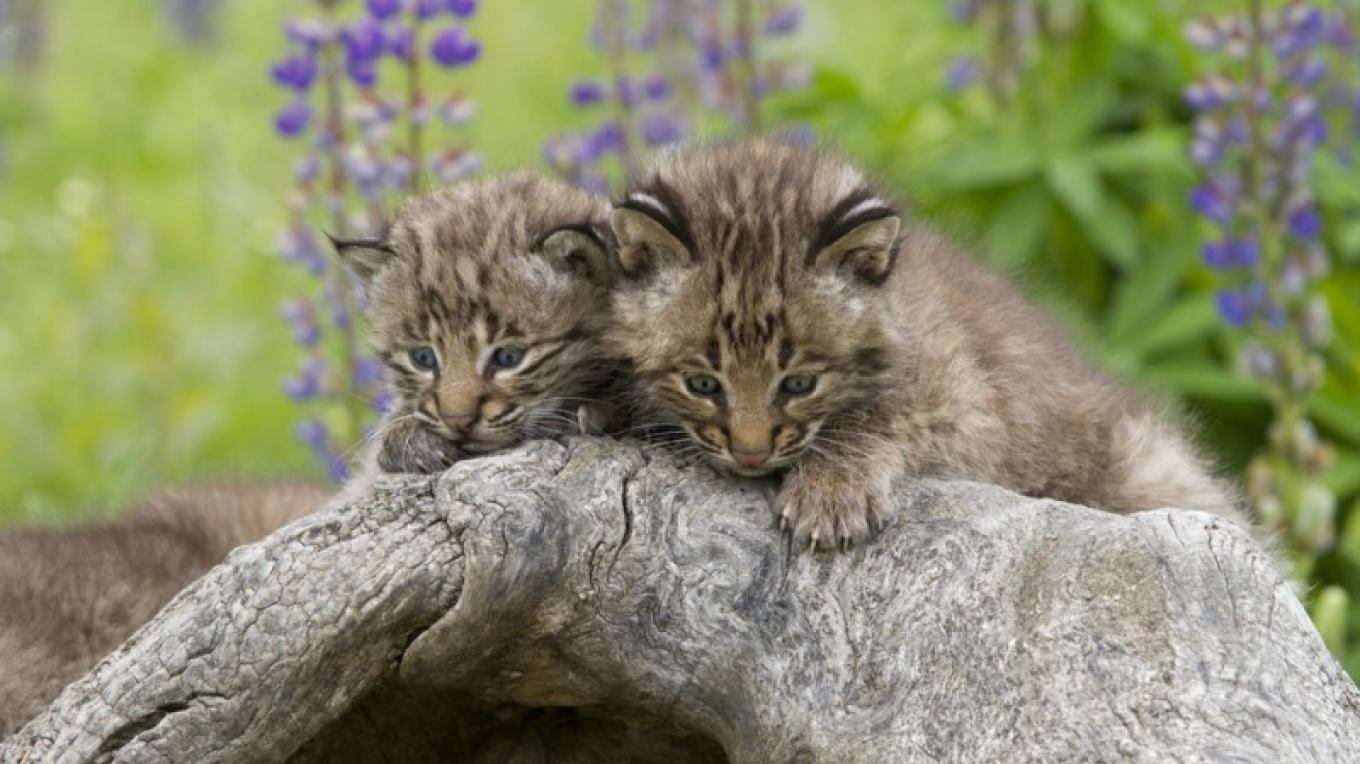 Ridge and Valley Conservancy is committed to protecting habitat for the North American Bobcat, endangered in New Jersey