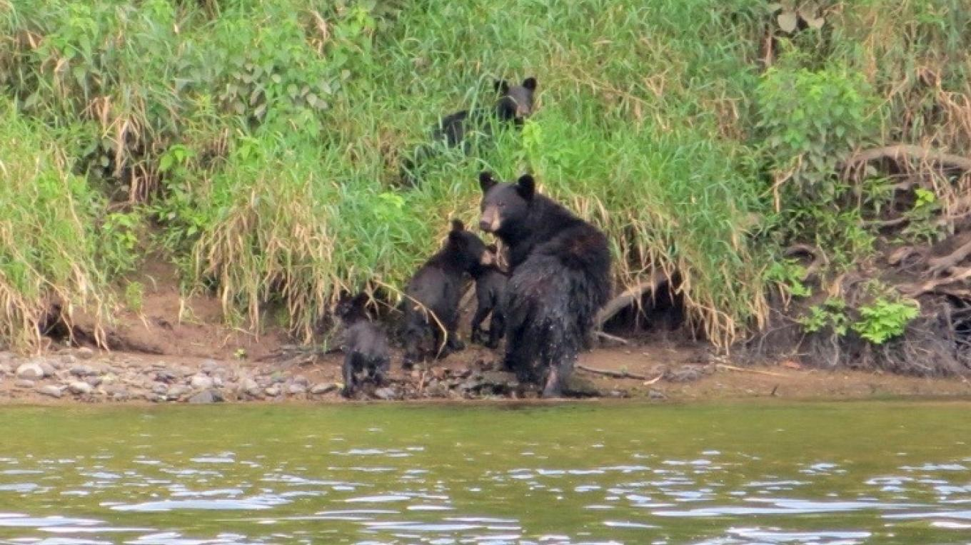 Family of Bears swimming in the river.