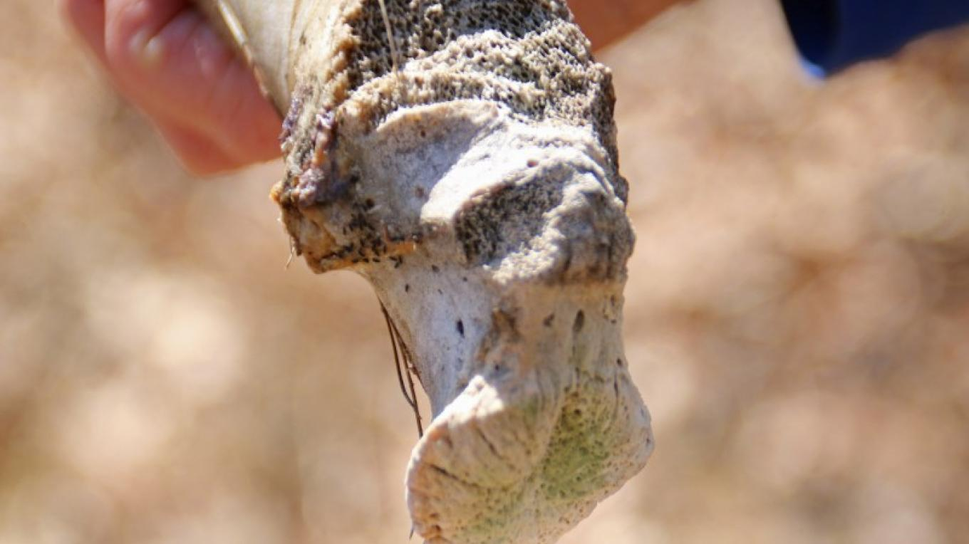 Closeup of a deer bone. – Nancy J. Hopping