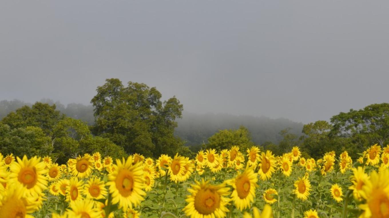 More Sunflowers in the Back Fields. – Liz Sutula