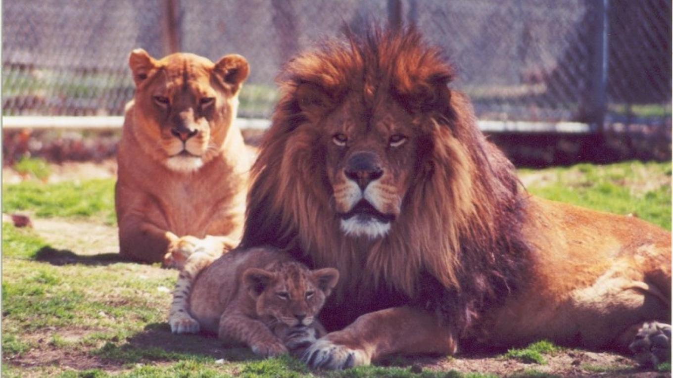 Space Farms is home to four generations of Atlas (black mane) African Lions – Karen Talasco