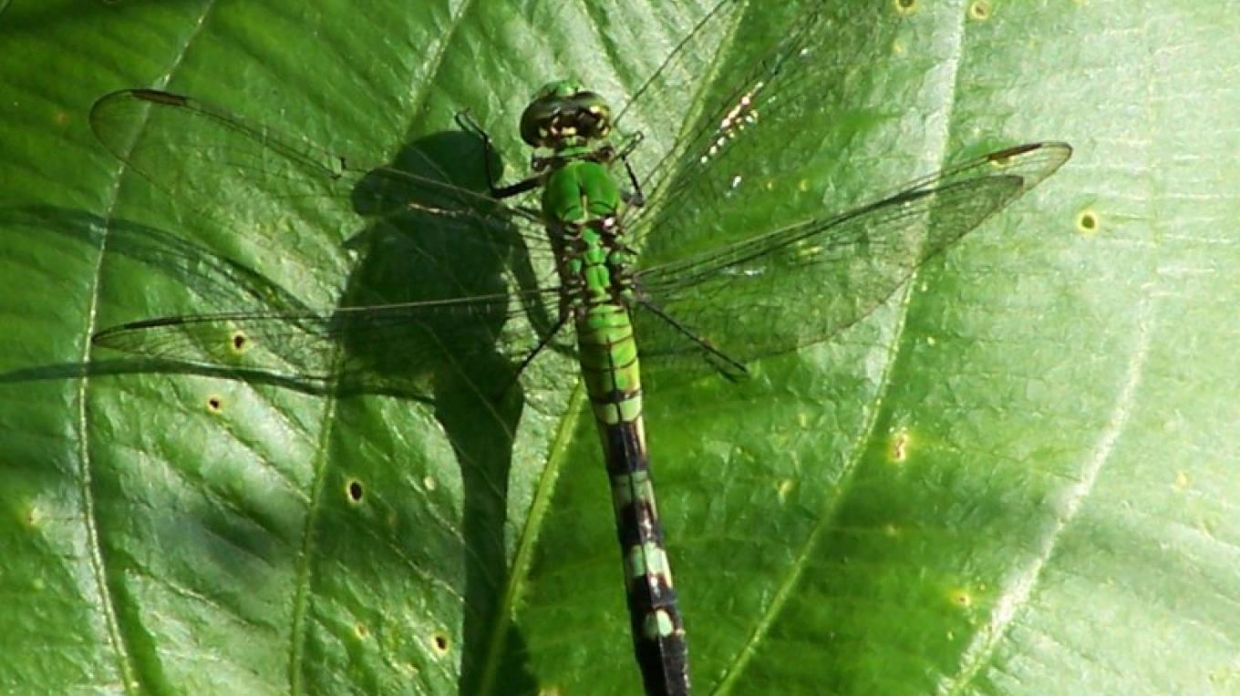 Green Clearwing Dragonfly at Bear Swamp WMA – John Parke