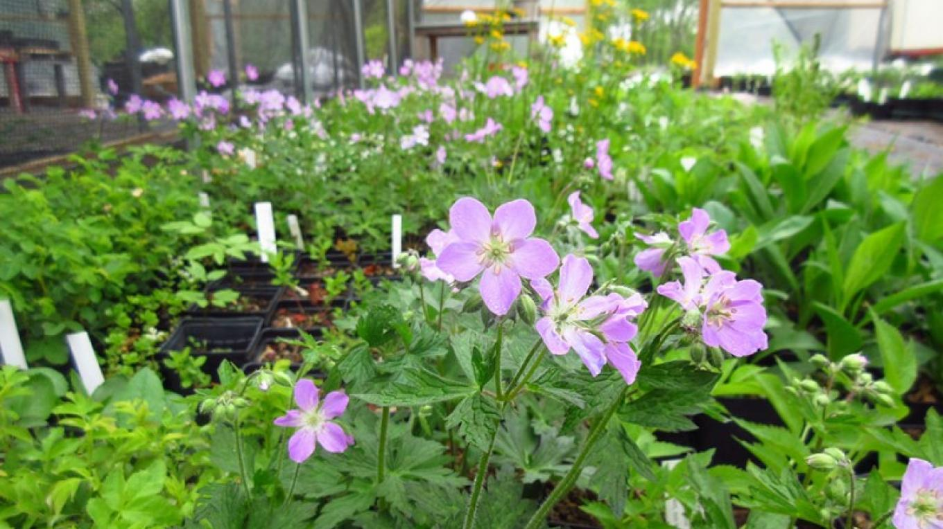 Wild Ridge Plants' nursery is chemical-free. We use a certified organic potting mix and fertilizers. Wild geranium (Geranium maculatum) pictured. – Jared Rosenbaum