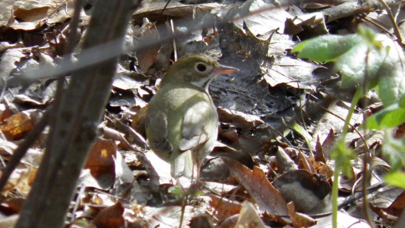 Ovenbird at Old Mine Road – John Parke