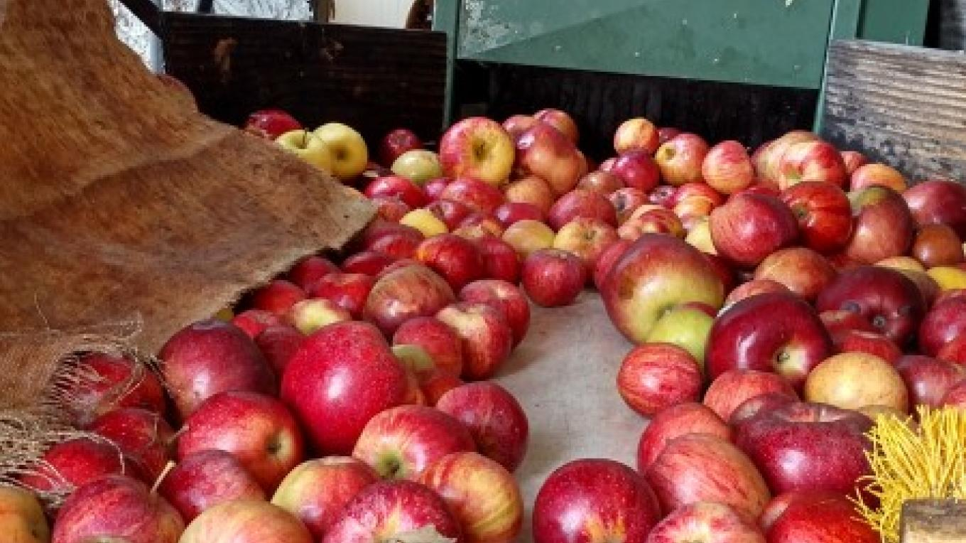 The bin dumper and conveyor that carries the apples into the pressure washer – Hardball Cider