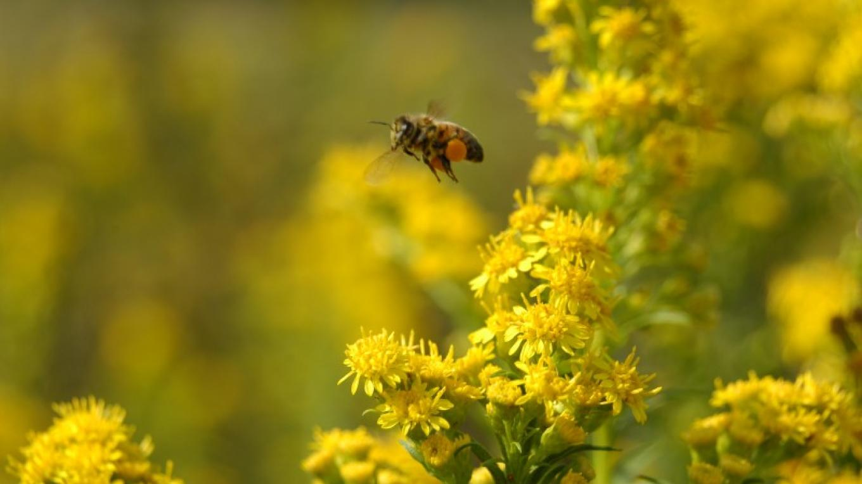 Honeybee loaded with goldenrod pollen – Tim Dunne