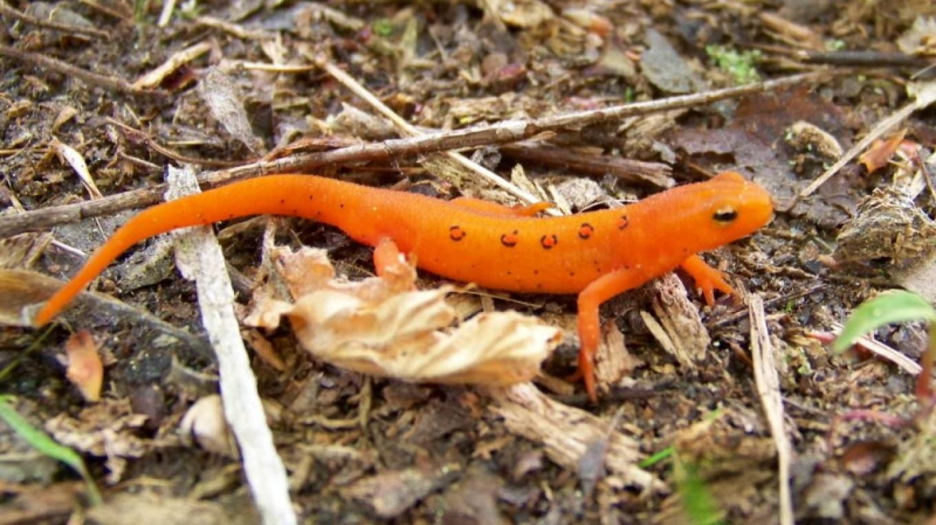 Red Eft – PEEC Staff Photo