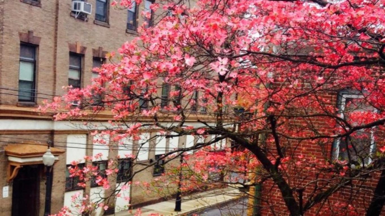 Spring in bloom on S. 1st Street, Bangor. – Courtesy of Slate Belt Community Partnership
