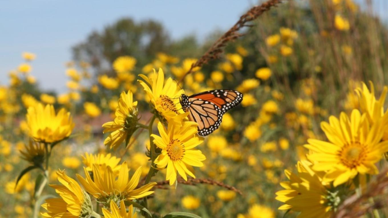A Monarch Butterfly takes advantage of the wildflower fields while on its journey south. – undefined