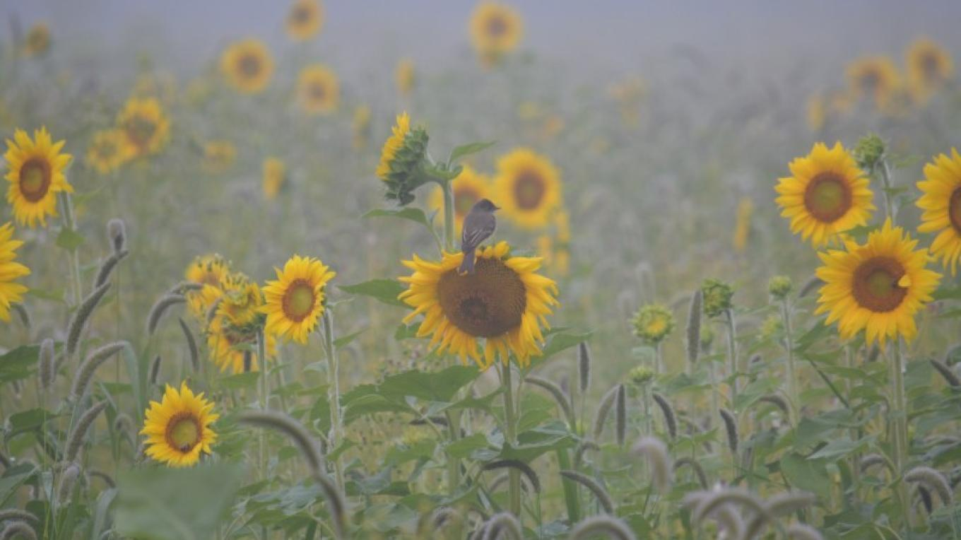 Mist Morning Bird on Sunflower. – Raj Sinha