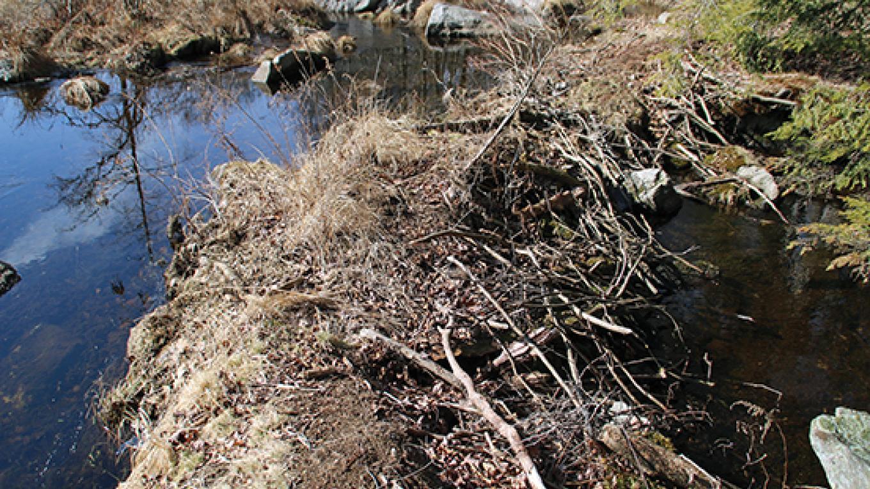 Beavers make their presence known at the marsh near Snow Shanty Trail. – Nancy J. Hopping