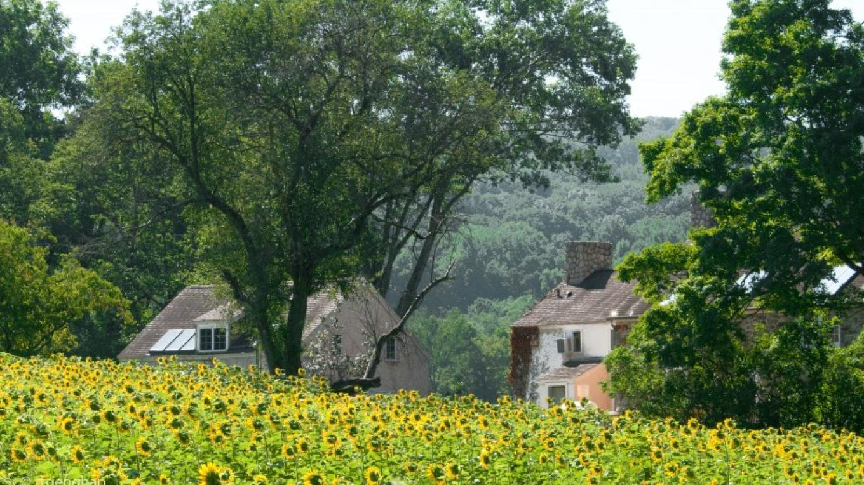The Sunflower Field at The NJ Audubon Wattles Stewardship Center – Regina Geoghan