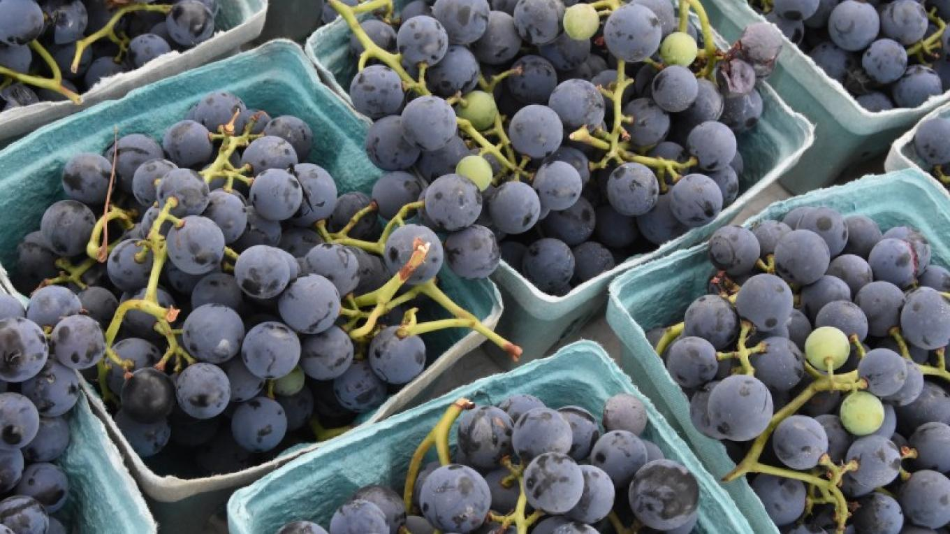 Concord grapes, Trapani Farms – Sandy Long, Heron's Eye Communications