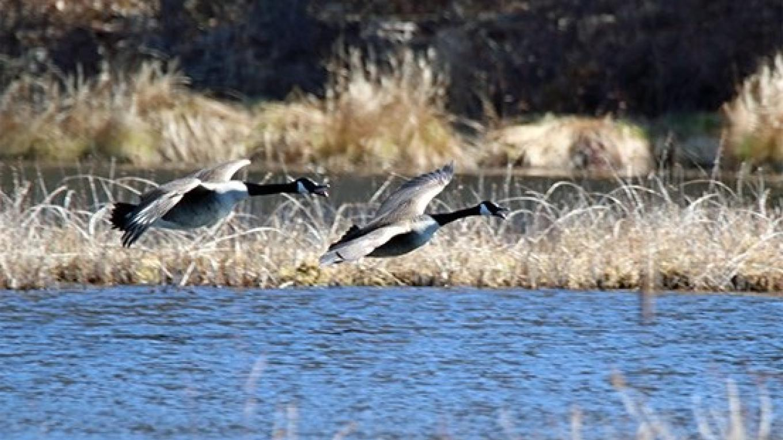 Canada geese enjoy a sunny day at Thunder Swamp. – Nancy J. Hopping