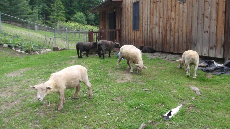 Sheep – Eric Schramm